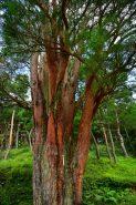 枝が地表近くから扇状に広がっているのが特徴