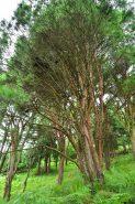 うつくし松は大正10年、国の天然記念物に指定された