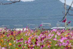 コスモス越しに見える新幹線