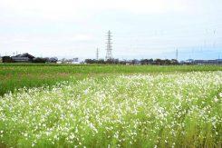 真っ白なコスモス畑も綺麗!