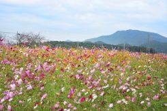 広大な敷地一面に咲くコスモス