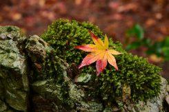 苔の緑も、紅葉によく映える