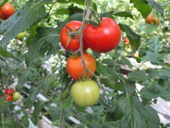 葉っぱの光合成から甘いトマトが生まれる