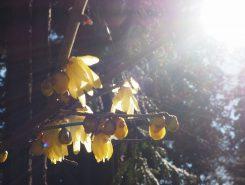 新春を告げる花