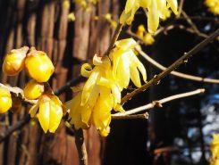 蝋細工の様な花弁