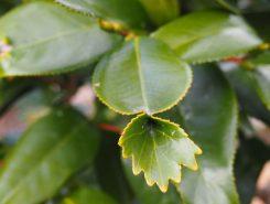 金魚のような形のツバキの葉
