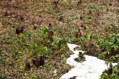 今津町弘川のザゼンソウ群生地は滋賀県緑地環境保全地域に指定されている