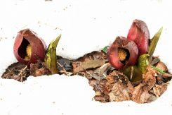ザゼンソウは、自ら発熱して寒い中でも開花する珍しい植物