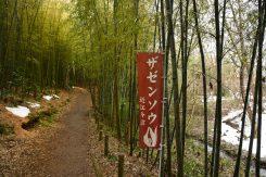 竹林を歩くと群生地が見えてくる