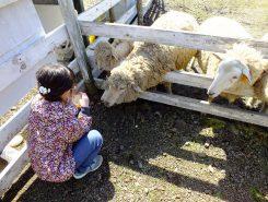 羊牧場でえさやり