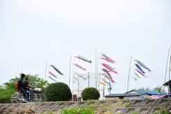 毎年5月3日は芳洲広場で「こいのぼりまつり」が開催される