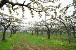 梨園では花が満開受粉のために蜜蜂が飼育されている