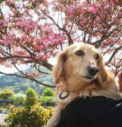 ピンクの花水木🌼とツーショット✌️ 春はお花がいっぱいで綺麗
