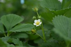 小さく可憐なイチゴの花