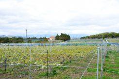 広大な農園。桃やブドウ、とうもろこしなど、年中味覚狩ができる