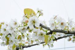 白く美しい梨の花は桜に似ている