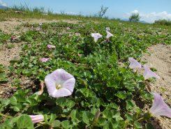 本来は海浜に咲く花なので貴重な群生地になっている