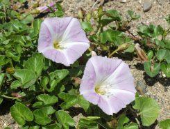 小ぶりの朝顔のような花でハート型の葉が特徴