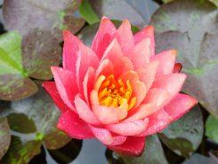 一つの花にピンクと黄色の花びらが現われるワンビサ