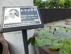日本に自生する唯一のスイレン・ヒツジグサ午後2時ごろに開花する