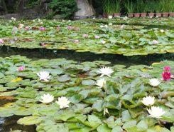 スイレン池には淡い色の小さなスイレンがたくさん咲いていた