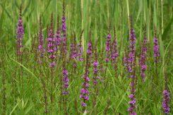 ヨシ原に咲く紫の花