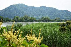 ヨシには水質の浄化作用があり、水辺の環境を守っている