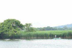 西の湖畔に群生するヨシ