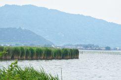 「西の湖」は琵琶湖最大の内湖