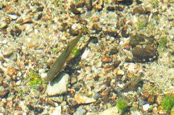 貴重な淡水魚「ハリヨ」が見られる