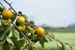 蕎麦畑の脇で見つけた柿の木