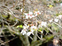金亀児童公園には二季咲桜が咲いていた