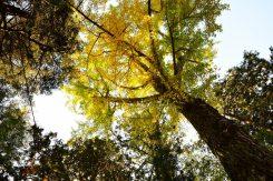境内の大きな銀杏の木