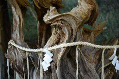 忠犬の霊を葬った犬胴塚に植えられた犬胴松
