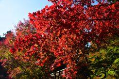 「血染めの紅葉」と呼ばれる本堂周辺の紅葉