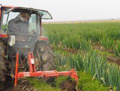収穫しやすいよう、根を切って土を掘り起こす