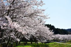 杉谷新田南の桜