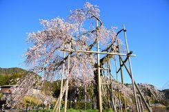 樹高約12メートル