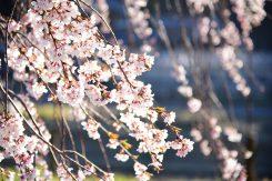 朝陽を浴びる桜の花
