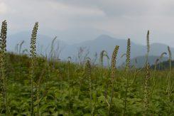 8月中旬からはサラシナショウマが咲き乱れる