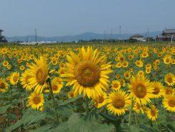草津市南山田町の休耕田にひまわりが元気に咲いている