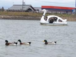 池にはスワンボートと並んで鴨がのんびり泳ぐ