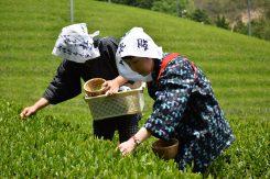 同じ茶葉でも、酸化酵素により発酵させると紅茶、半分発酵させるとウーロン茶となる