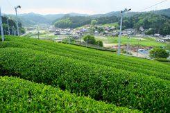 この地形と寒暖差、豊かな自然によって、香り高い、うまみたっぷりのお茶が生まれる
