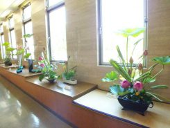 ハスの生花の展示