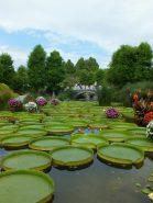花影の池いっぱいに広がるパラグアイオニバス