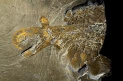 アノマロカリス 実物化石 (ロイヤル・オンタリオ博物館蔵 Courtesy of the Royal Ontario Museum and Parks Canada. Photos:J.B.Caron ©ROM)