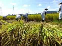 刈り取った稲は畦に向きをそろえて並べます