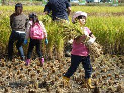 小さい子は稲を運びます