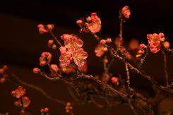 ほころび始めた梅の花。気品ある香りが楽しめる